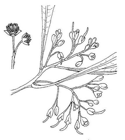 Image Result For Dodonaea Viscosa Drawing
