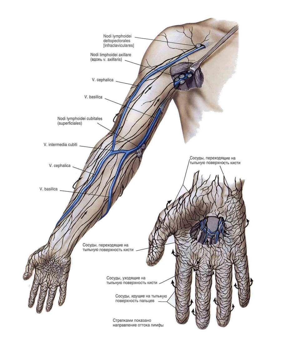Сосуды и нервы верхней конечности - здоровье и спорт | Популярная ...