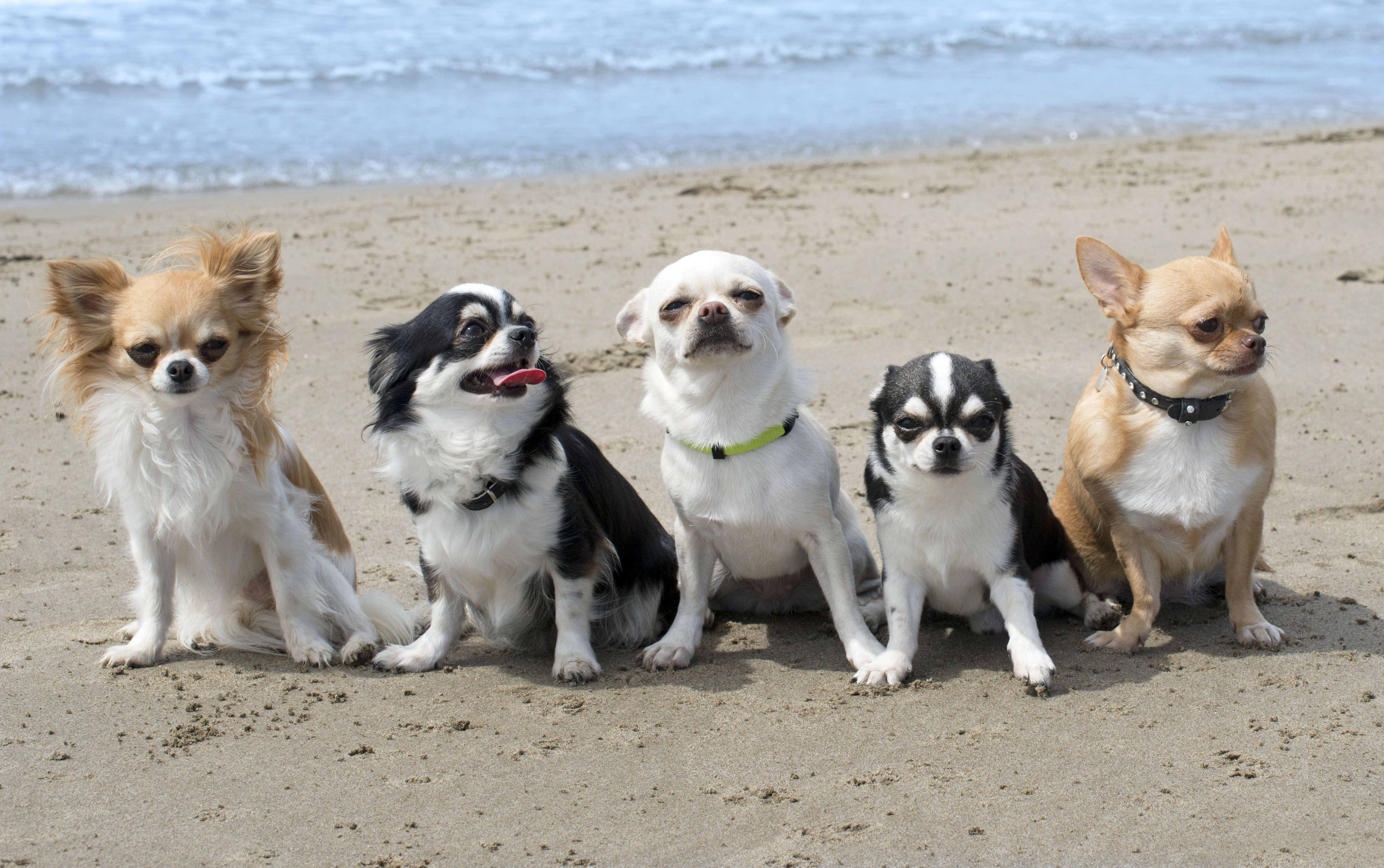 Five Chihuahuas Sitting Together On A Beach Chihuahua Dogs Cute