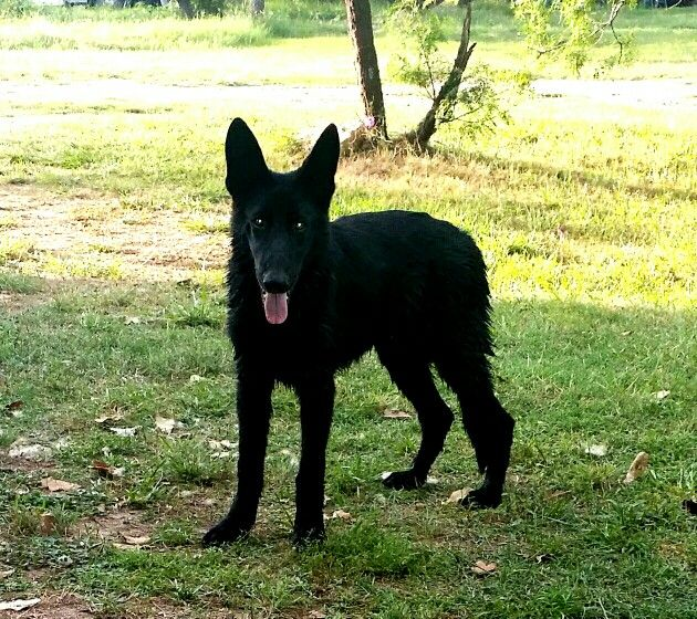 Fierro 6 Month Old Black German Shephard Black German