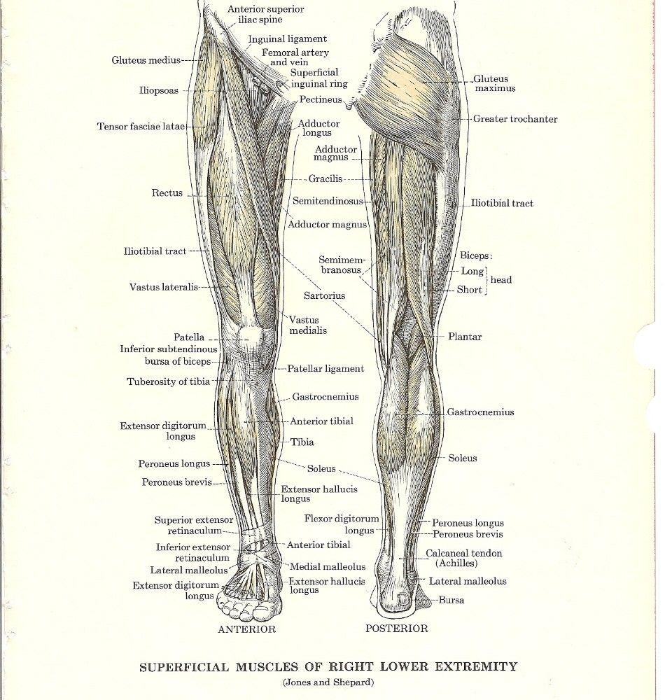 Lower leg anatomy to biomechanize | Wellness/Health | Pinterest ...