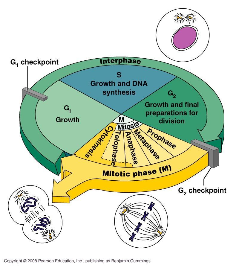 Fundamental Processes Overview Of The Cell Cycle Cell Cycle Cell Growth Mitosis Dna and cell division worksheet answers