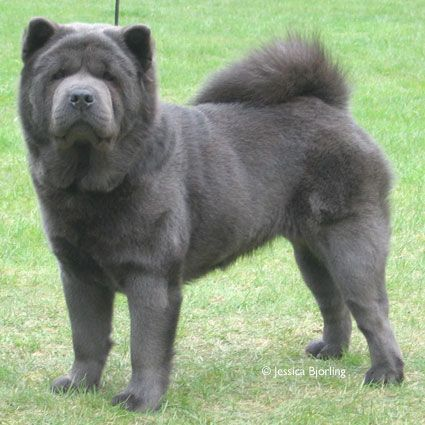 Chow Chow Smooth Blue Http Www Chowchowringen Com With