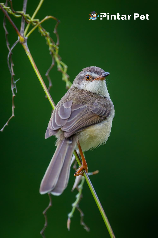6 Makanan Burung Ciblek Supaya Gacor Dan Merdu Di 2021 Burung Makanan Burung Dokter Hewan