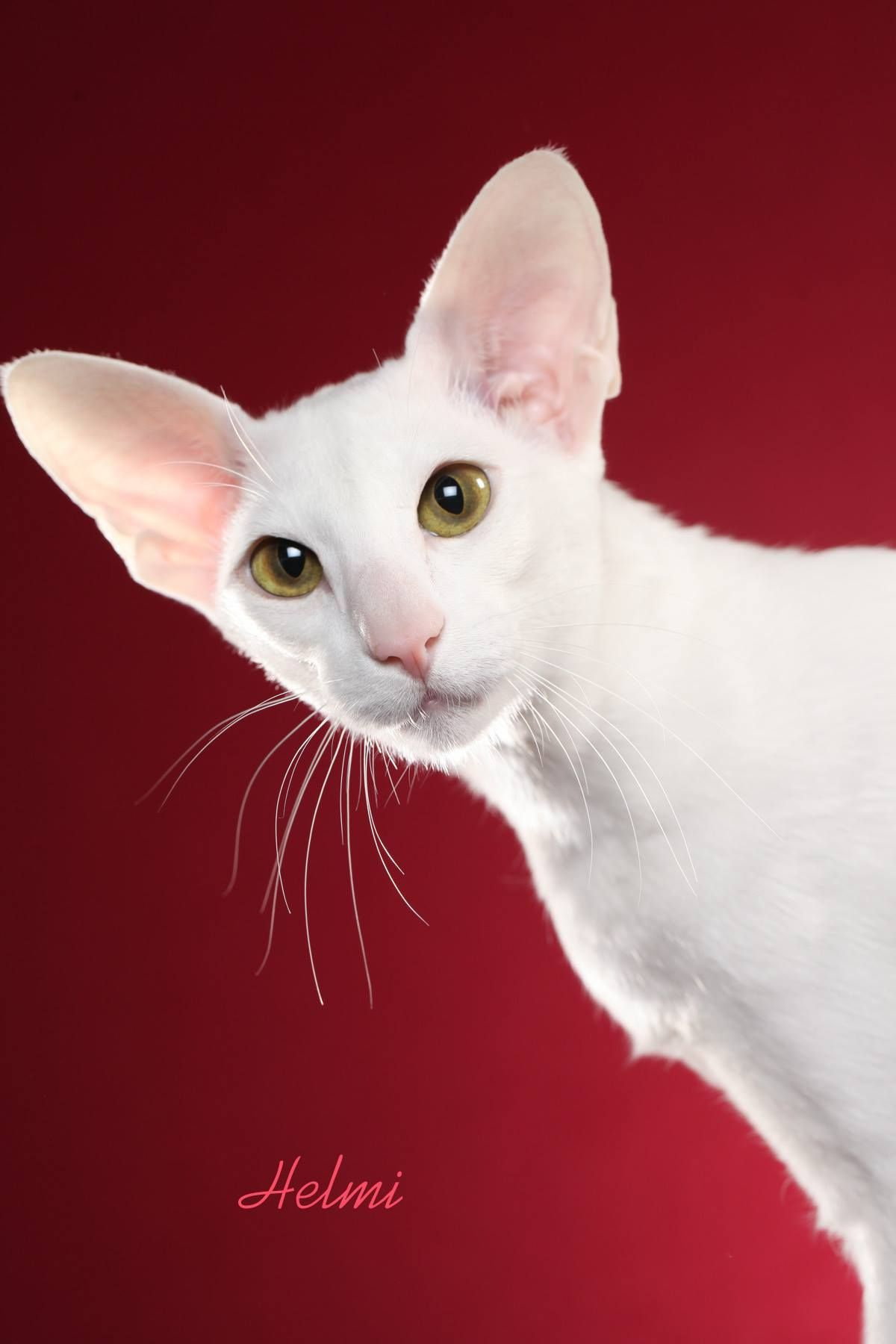 Mari Burns Tersanctus Let It Snow Of Klm A Solid White Oriental Shorthair Photographed At Cfa S Houston Oriental Shorthair Cats Oriental Shorthair Cute Cats