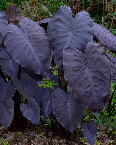 Colocasia Black Magic #elephantearsandtropicals