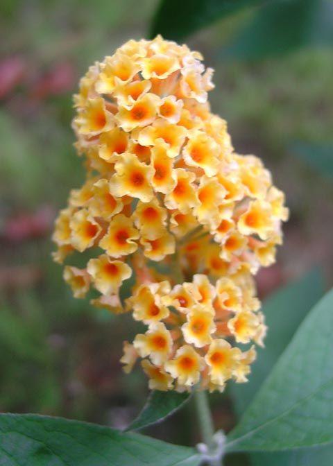 Buddleia Honeycomb Butterfly Bush Yellow Flowering Plants Pollinator Garden