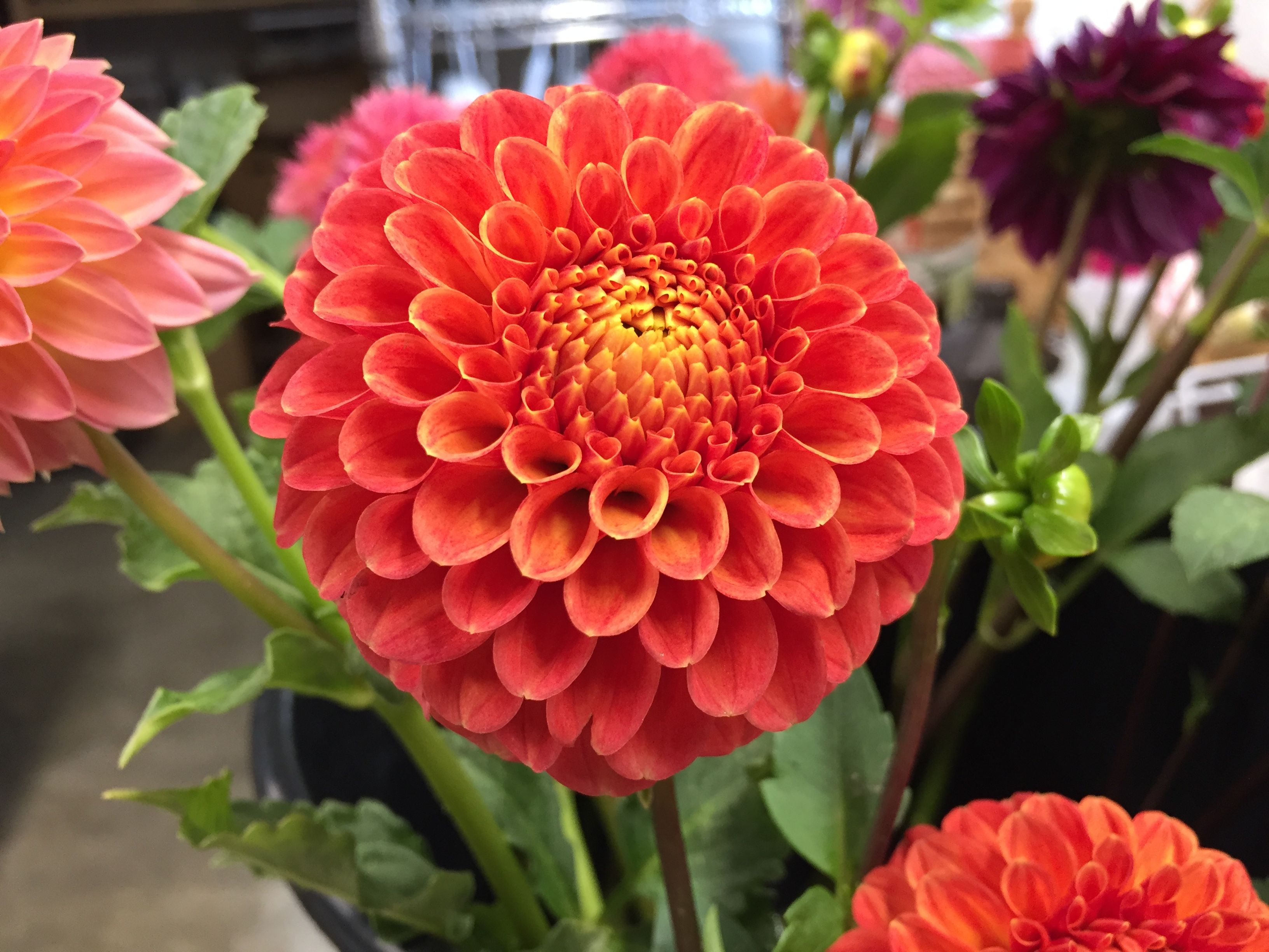 Camano Buz Has A Wonderful Orange Color This Formal Decorative Dahlia Produces 3 Blooms That Are Just The Right Size For Dahlia Growing Dahlias Flower Garden