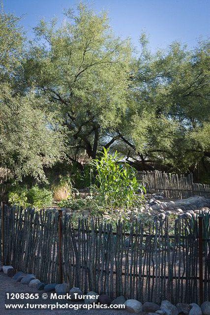 Ocotillo fence around vegetable garden w/ Velvet Mesquite bkgnd ...