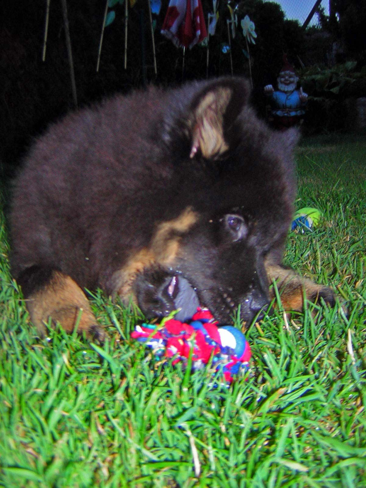 Puppy Dog Yogi Eurasier