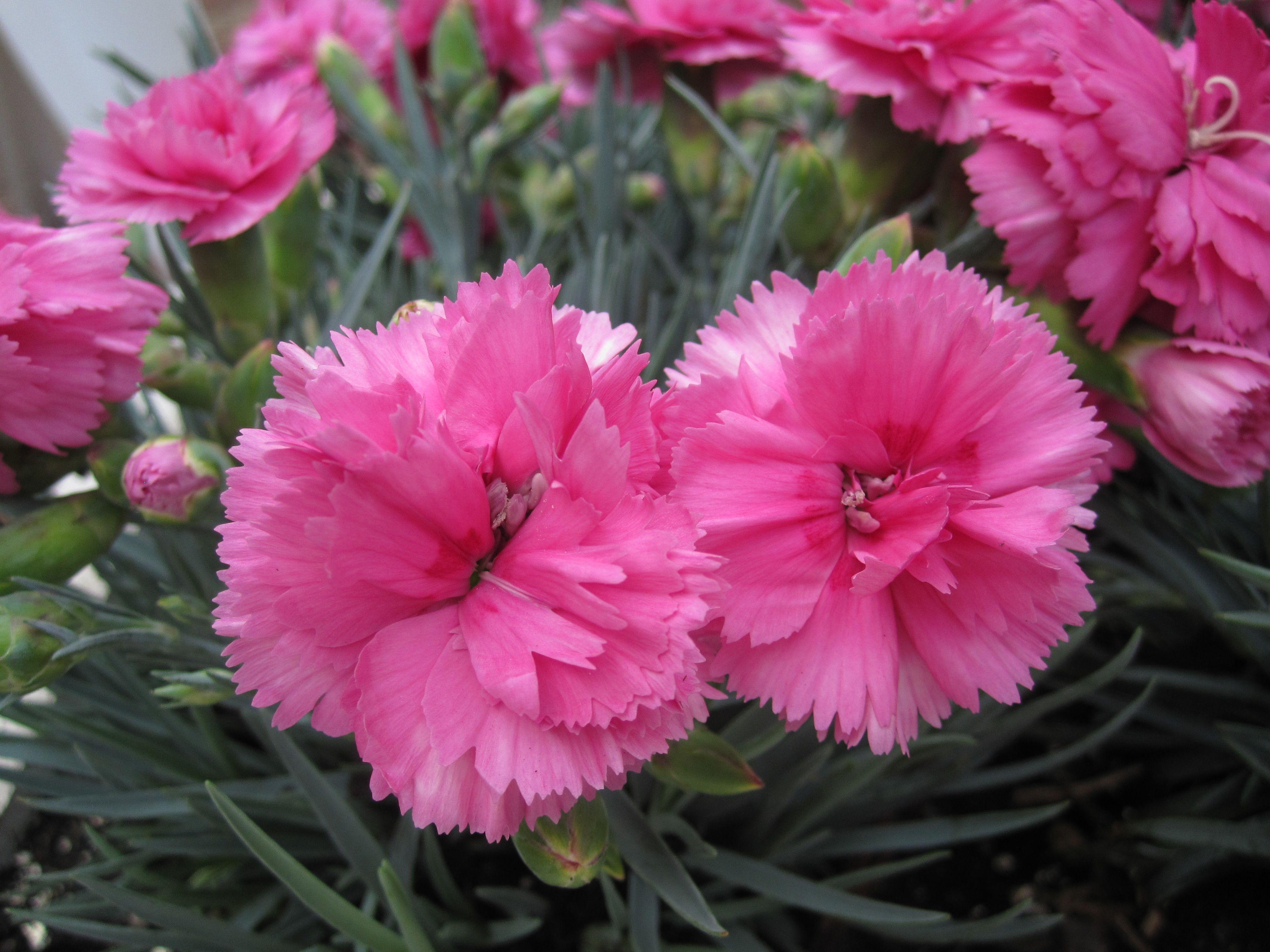 Dianthus Caryophyllus Dianthus Caryophyllus Pink Perennials Beautiful Flowers