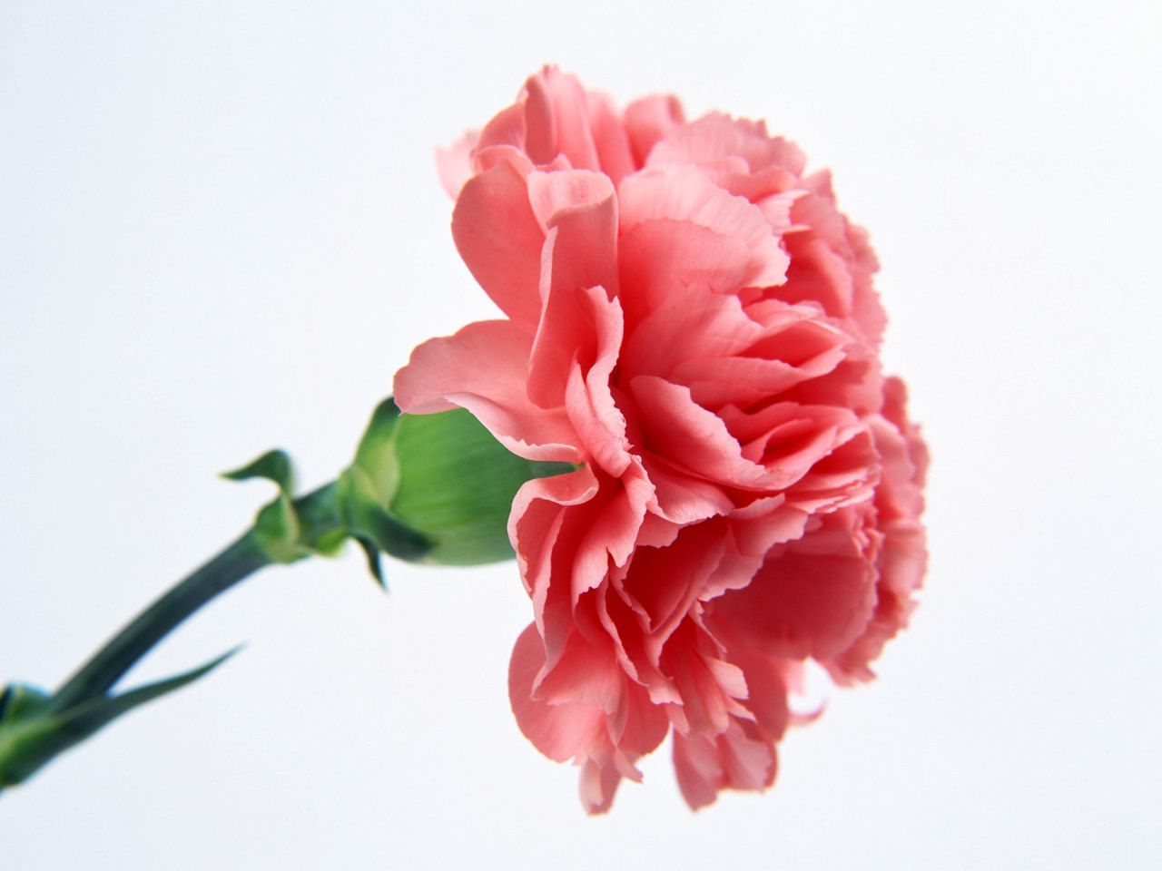 Fragrant And Beautiful Carnation Flowers Have Become Symbolic Of Mother S Love And Also Mothers Day Descrip Carnation Flower Carnation Plants Pink Carnations