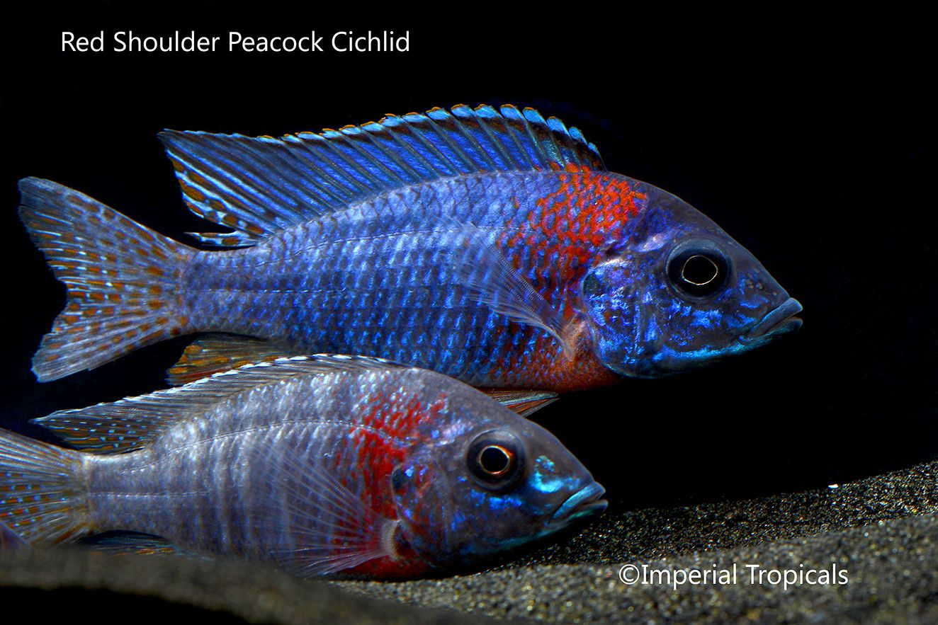 Pin On Peacock Cichilds