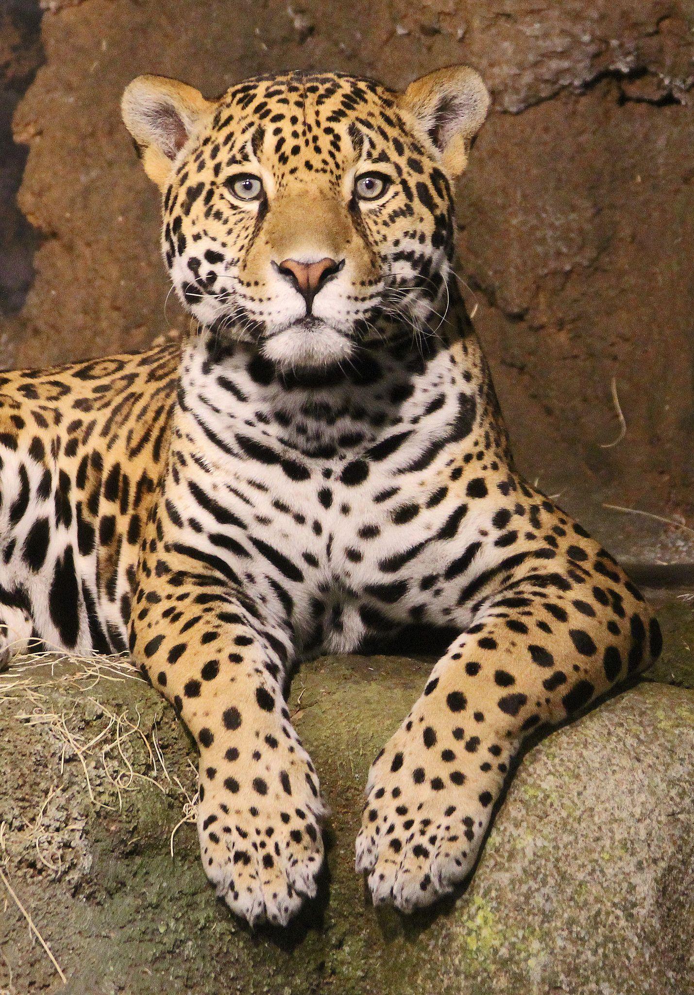 jaguars animals cubs - photo #7