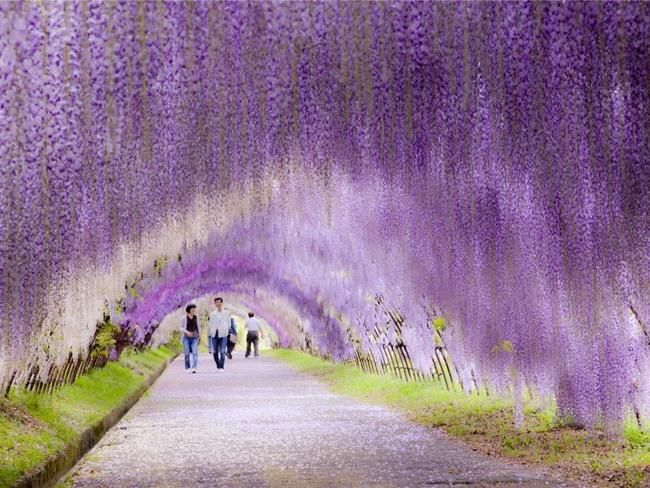 Unreal Places Around The World Wisteria Flower Tunnel Japan Incredible Places Places To See Travel Around The World