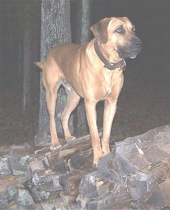 Perhaps For A Ranch Dog I Should Consider The Black Mouth Cur