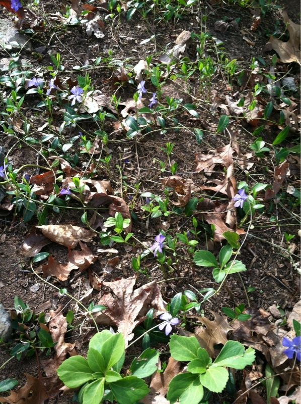 Vinca (vinca major) This appears to be a form of