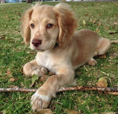 Russell The Mixed Breed Mixed Breed Puppies Labrador Retriever Puppy Breeds