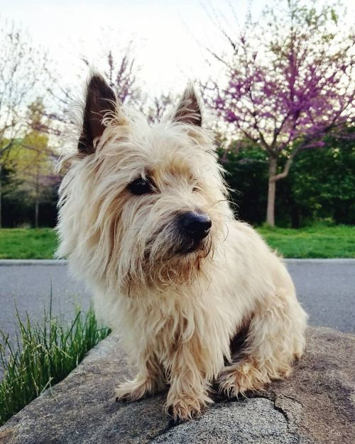 Pin By Sue Costagliola On Cairn Terriers Cairn Terrier Terrier