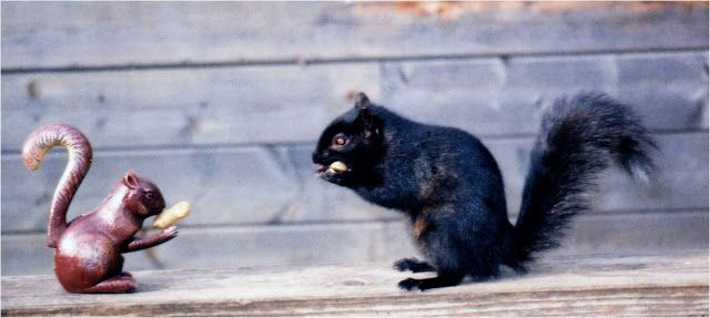 Meet the Black Squirrel | The Ark In Space