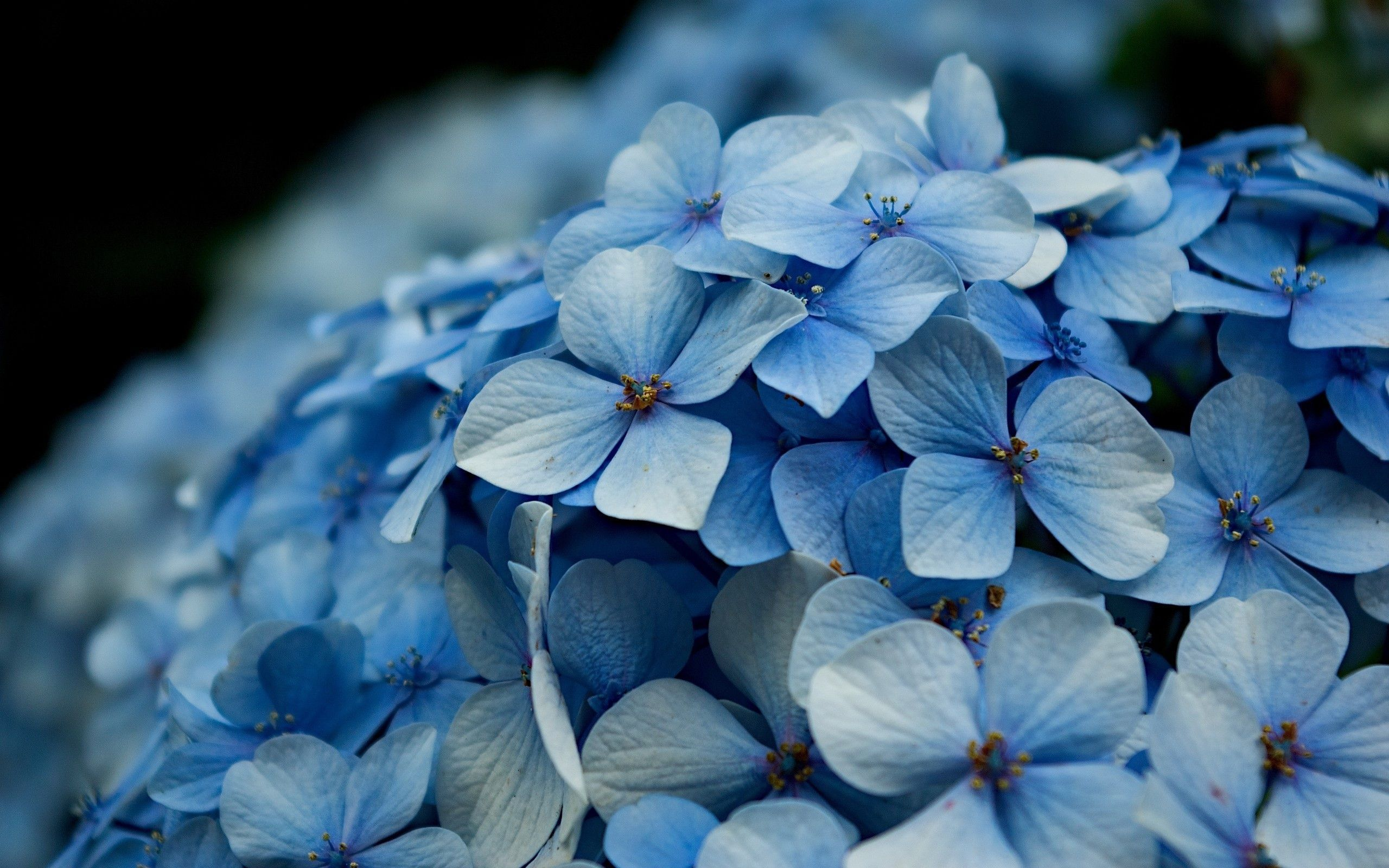 Hydrangea 22004 Nature Desktop Hd Iphone Ipad Wallpapers