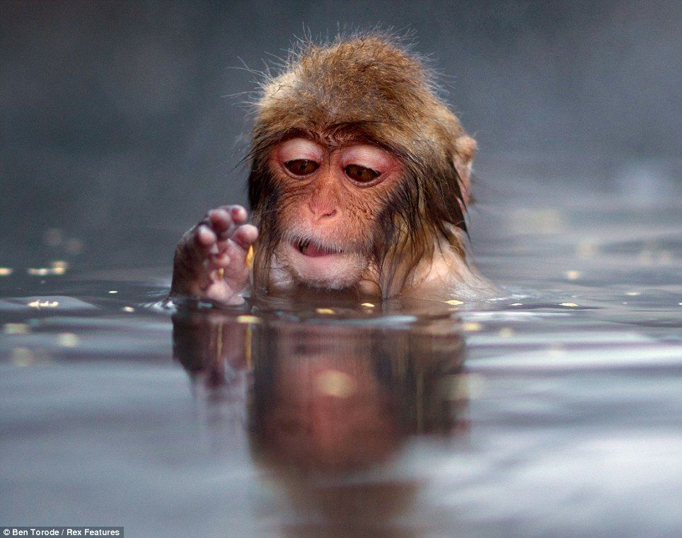 Japanese Snow Monkey playing in the water