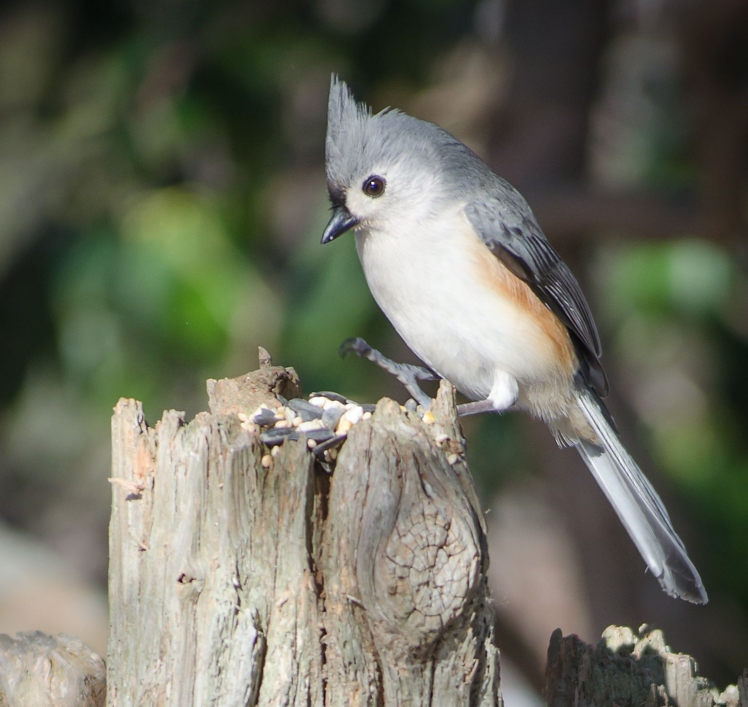 Photograph Titmouse on a Fence Post by Michael Magner on 500px