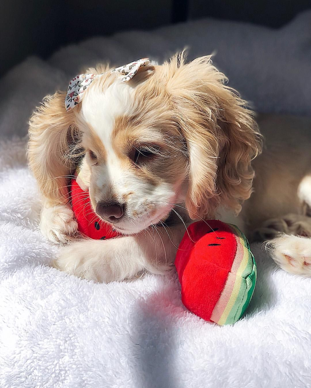 Cute Puppy Cocker Spaniel Watermelon Bark Toys Funny Puppy Pictures Spaniel Puppies Cute Animals