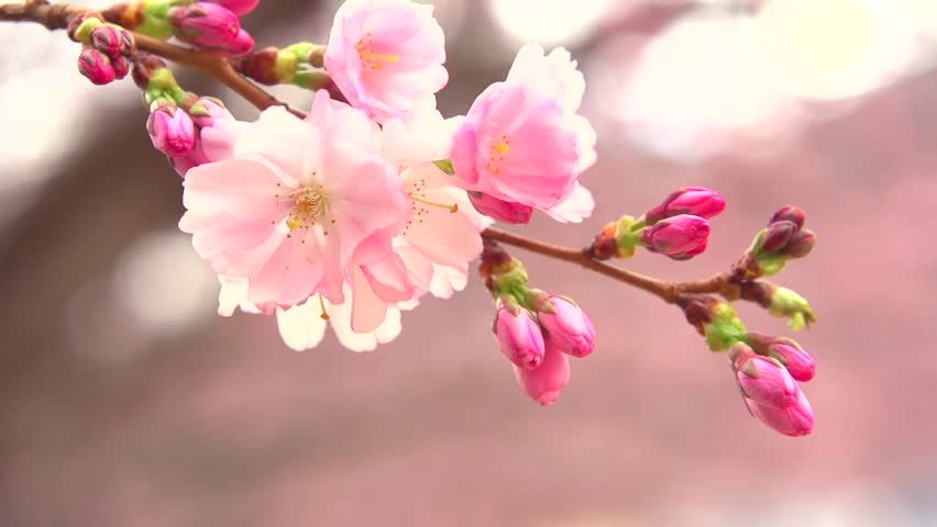 Cherry Blossom Tree Close Up Google Search Spring Blossom Spring Flowers Japanese Flowers