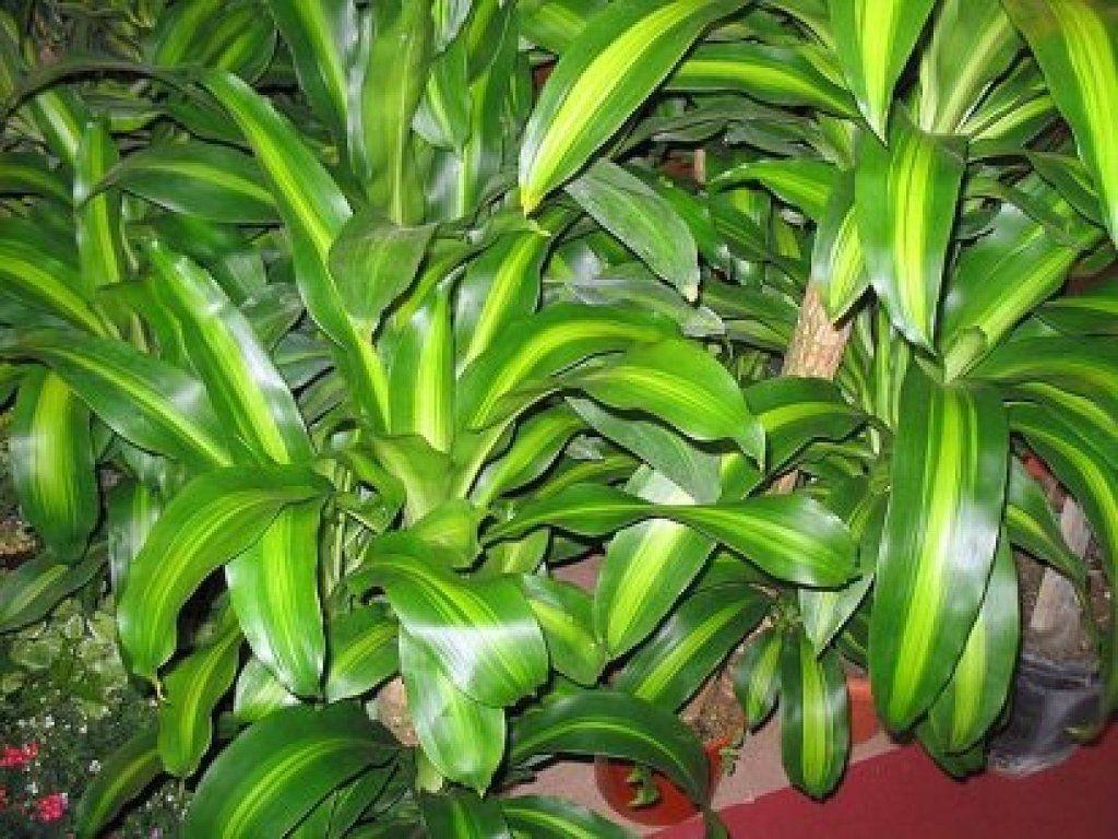 Palo de brasil la planta que conseguir que seas feliz for Una planta ornamental