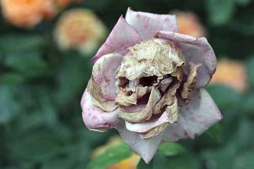 Aristolochia salvadorensis | Flor marchita calavera (pareidolia)