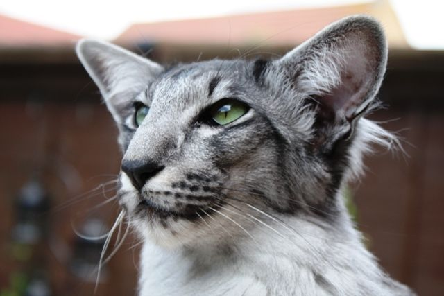 20 Most Affectionate Cat Breeds in The World | Oriental ...