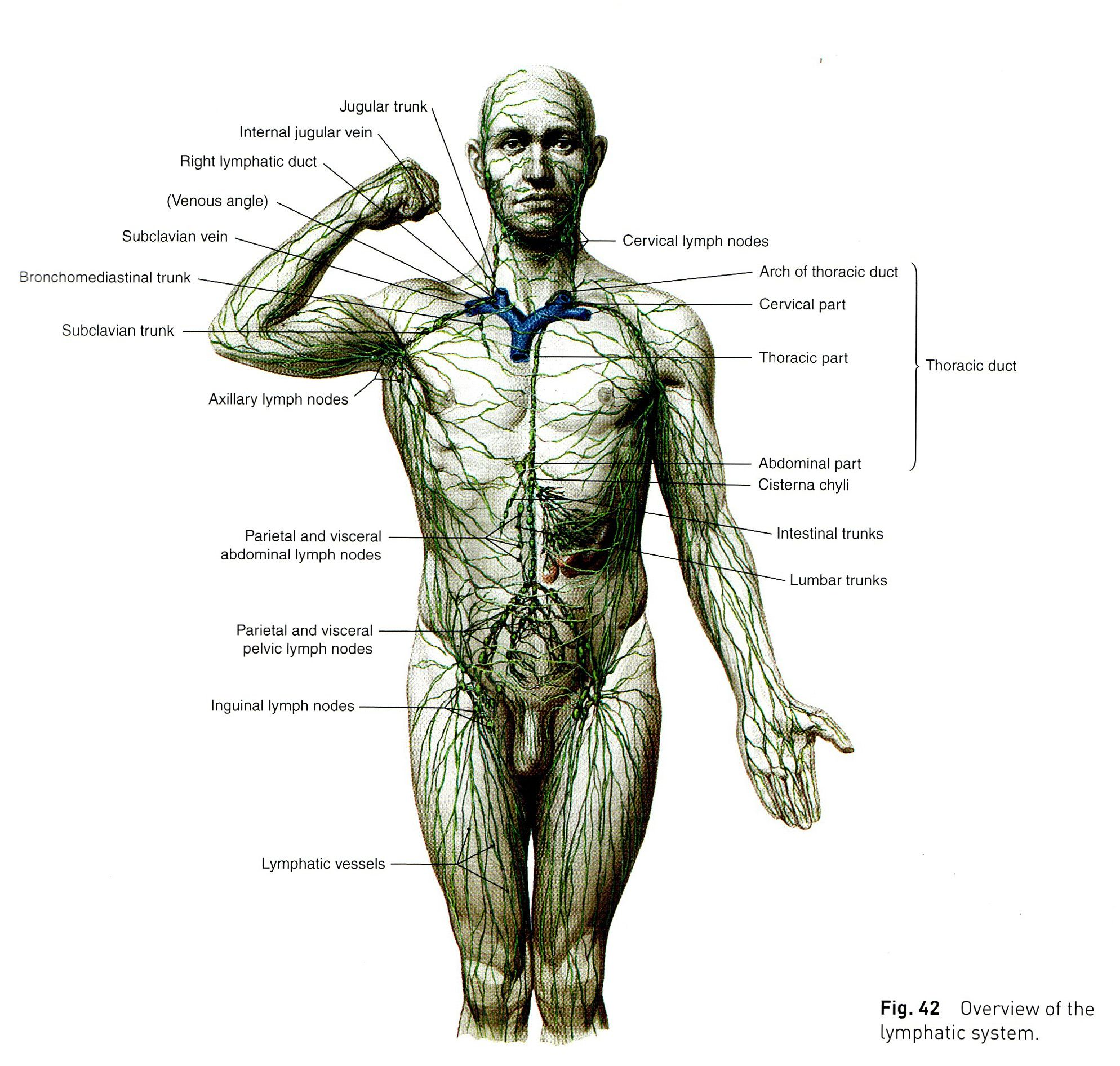 lymphatic system diagram - Google Search | THE HUMAN BODY ...