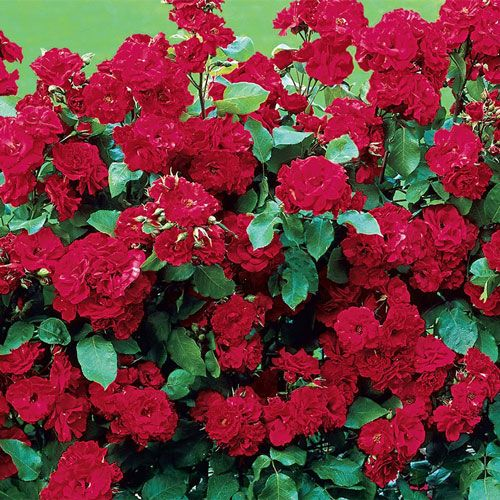Roses In Garden: Spring Hill's Red Freedom™ Rose