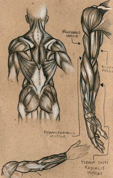 muscle sketch - Cerca con Google