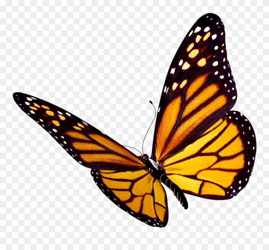 Download Hd Transparent Background Monarch Butterfly Clipart Png Download And Use The Free Clipart Butterfly Clip Art Butterfly Watercolor Monarch Butterfly