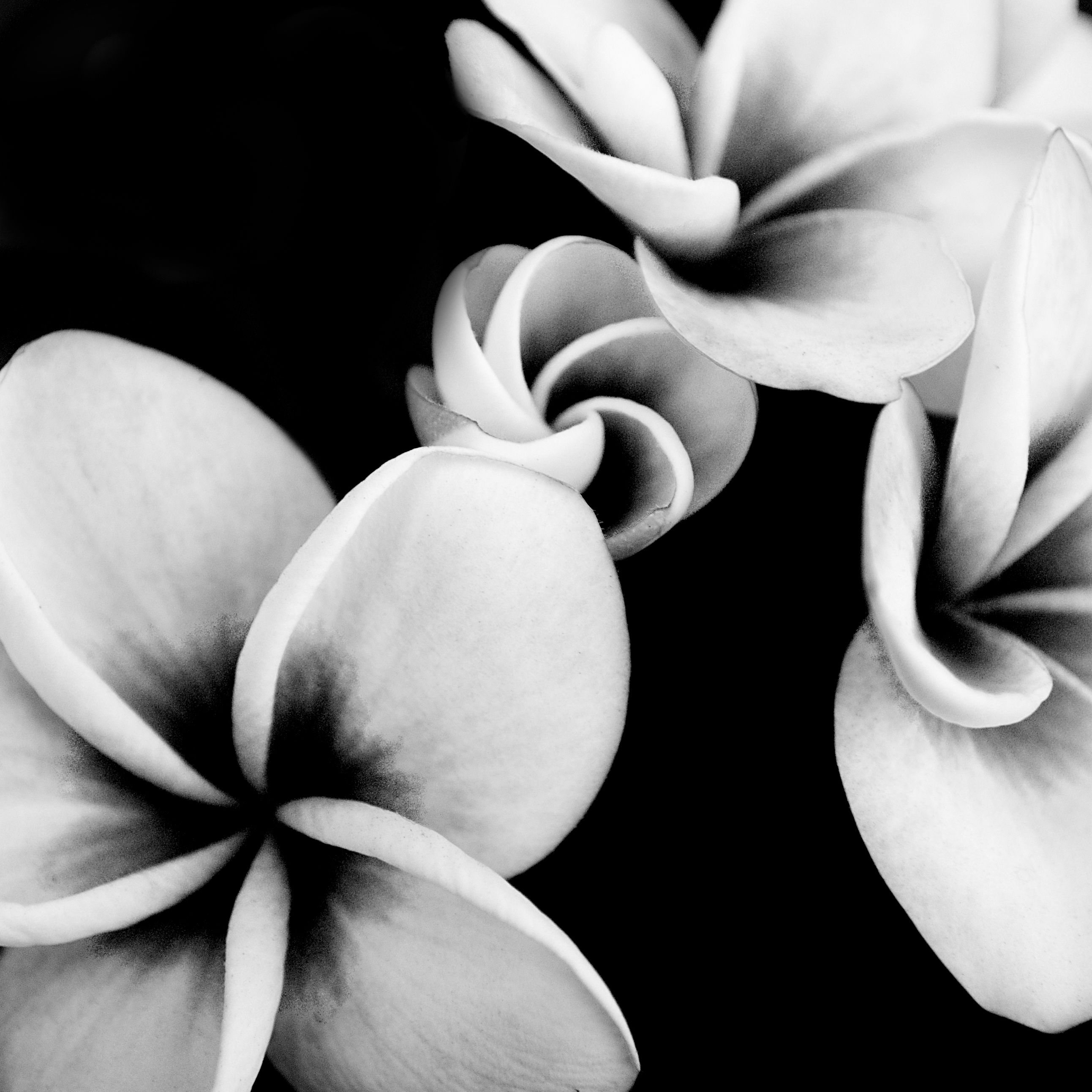 Flowers Of Fury Michael Thurber Hawaiiplumeria Pinterest