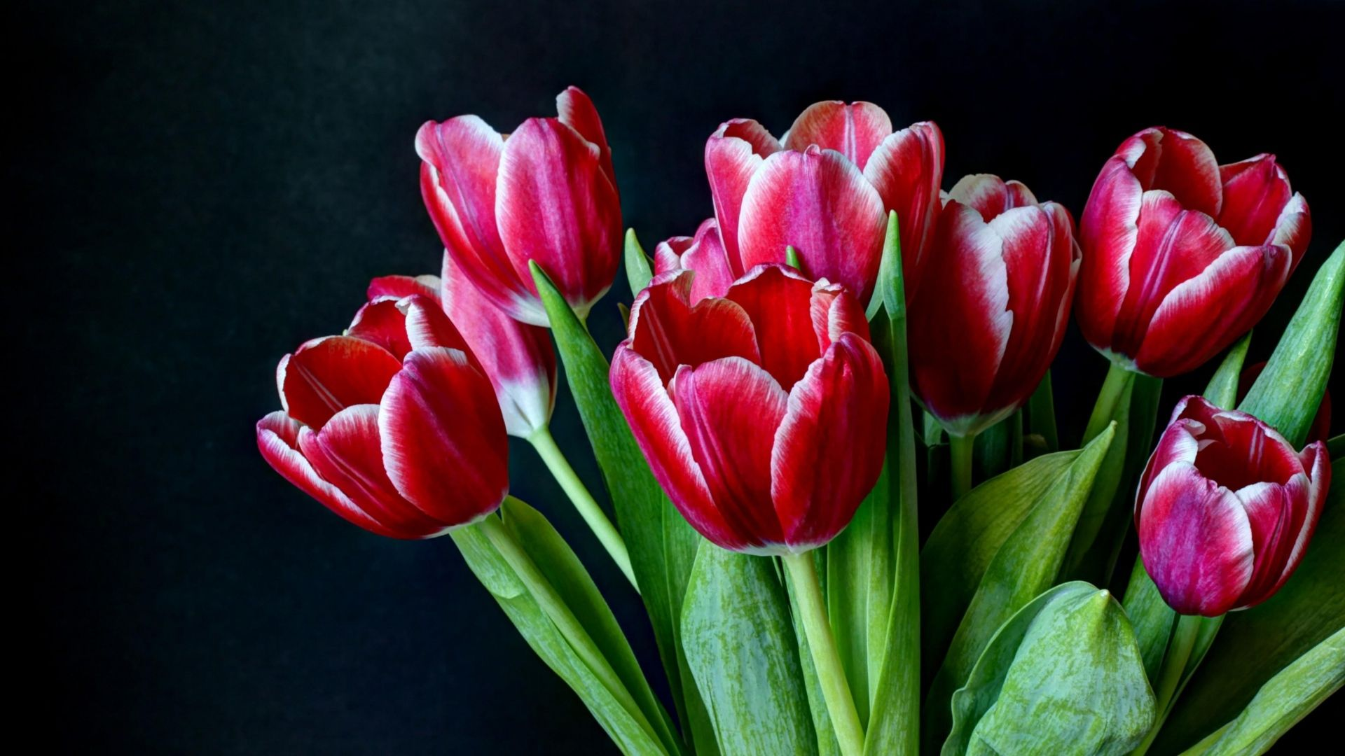 Download Wallpaper 1920x1080 Tulips Flowers Two Color Bouquet Dark Background Full Hd 1080p Hd Background Tulips Spring Flowers Wallpaper Flowers