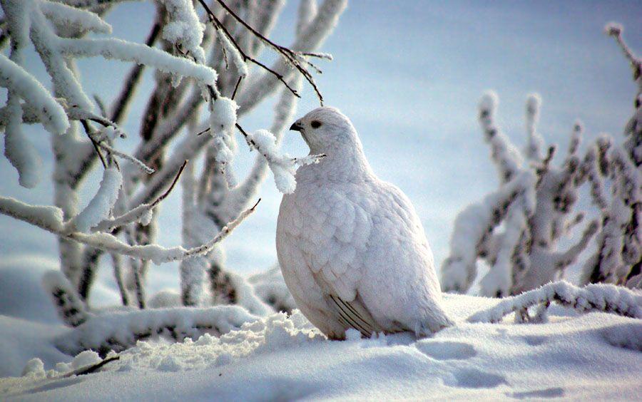 Ptarmigan in winter dress