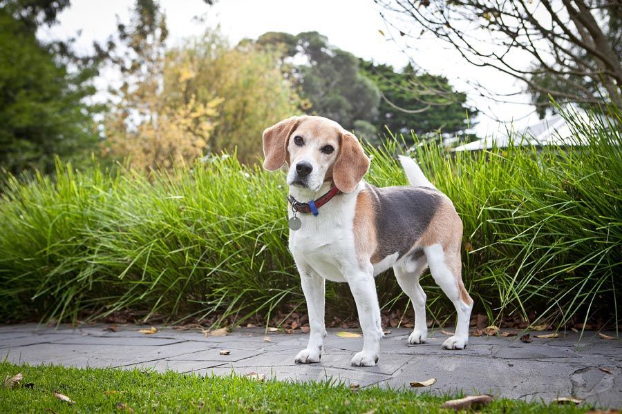 Beagles      Pet Photography Melbourne  Melbourne Dog Photographers  http://www.pupparazzi.com.au