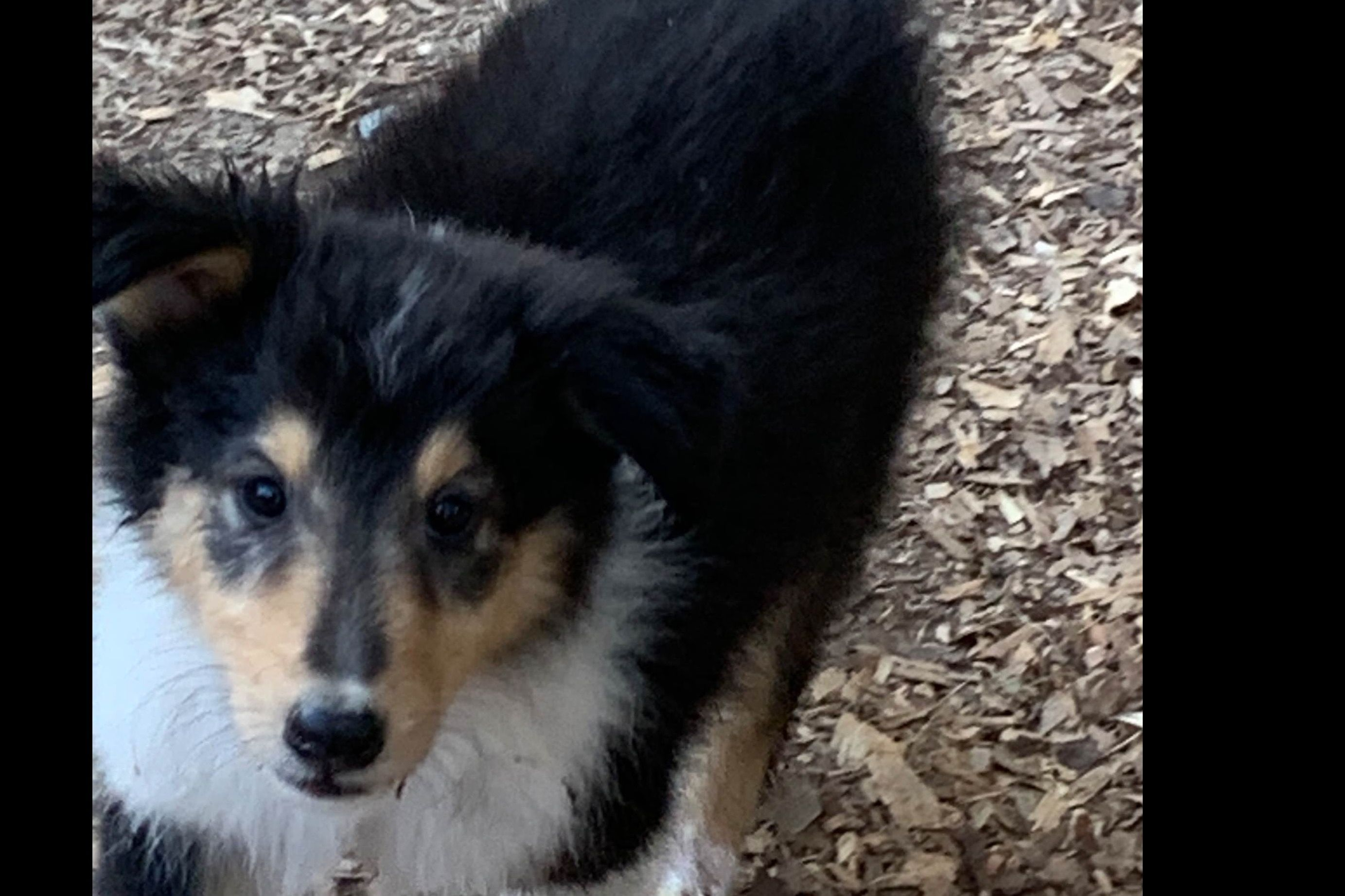 Corley Georgia Collies Has Collie Puppies For Sale In Ranger Ga