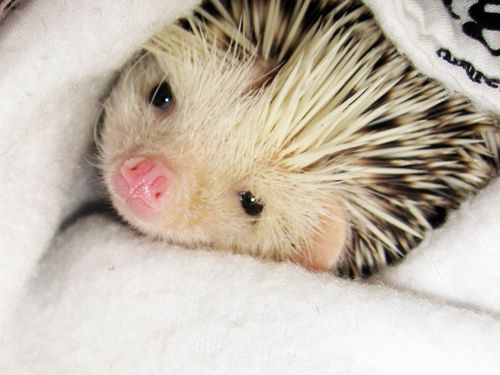 With continued gentle handling and confidence hedgehogs get used to their owners;.. With time many hedgehogs demonstrate the ability to recognize their owners and with patient training may learn simple commands. Being nocturnal, hedgehogs tend to be more active in the early evening.