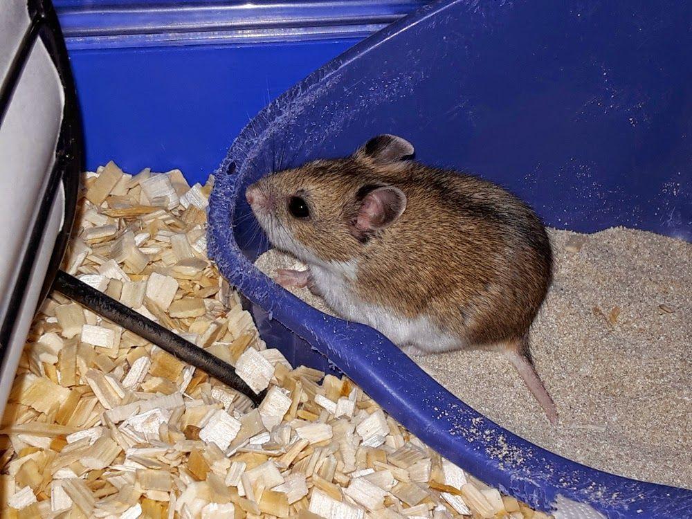 Hiiri Jolla On Paastaisen Hanta Dwarf Hamster Chinese Dwarf