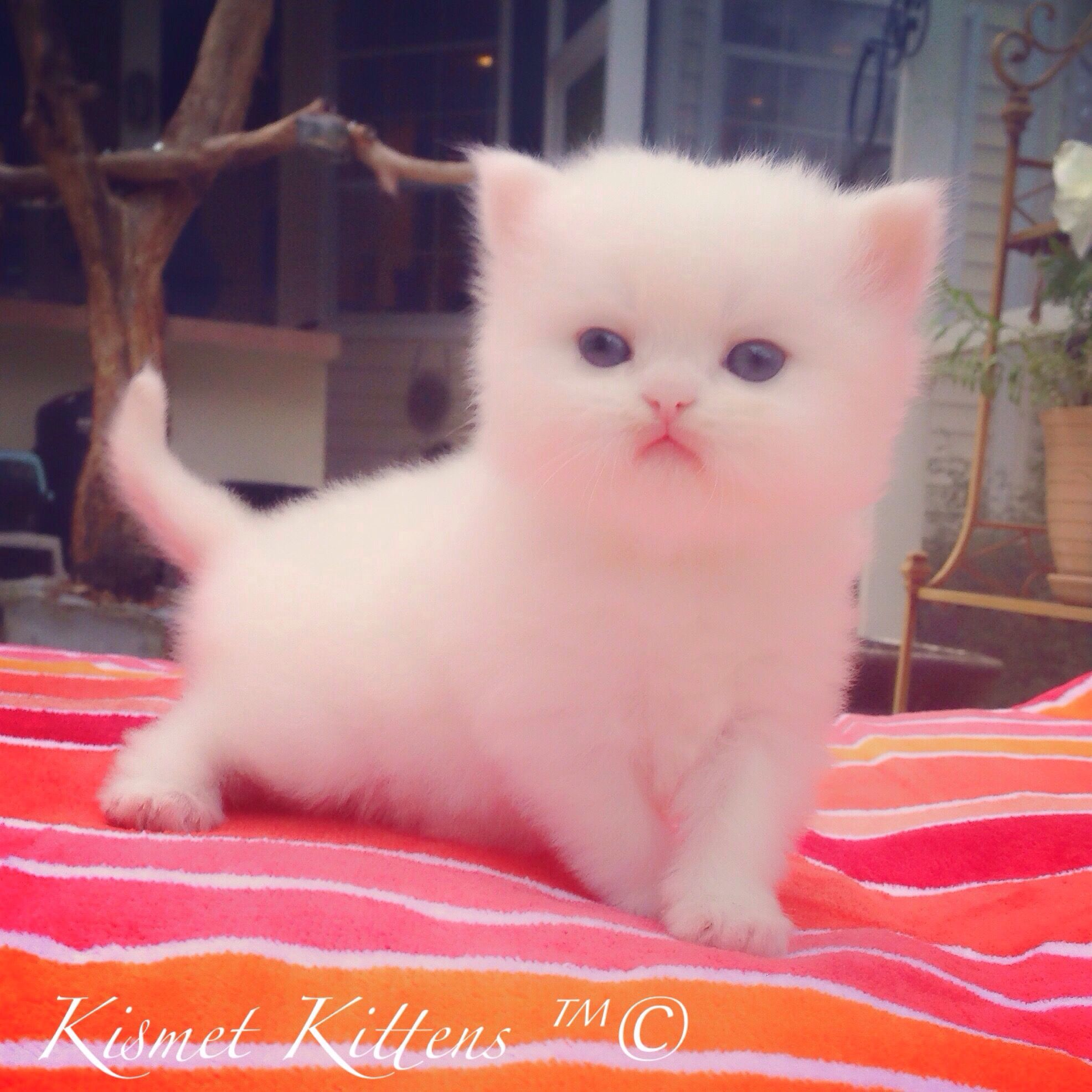 Teacup Kittens Teacup Kittens Teacup Kitten