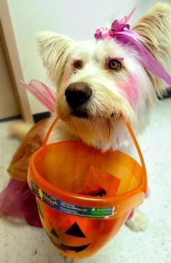 Zanie The Dog Waits For Her Halloween Treats Wednesday Oct 31