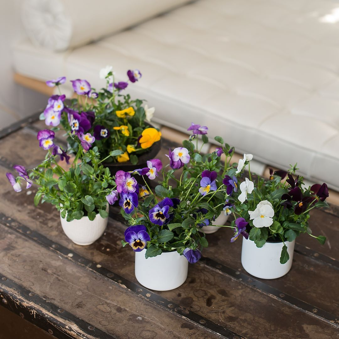 Om du kjøper brettene våre med stemor, kan du plante de søte stemorsblomstene ut etter hvert og ha glede av de langt utover i mai😉