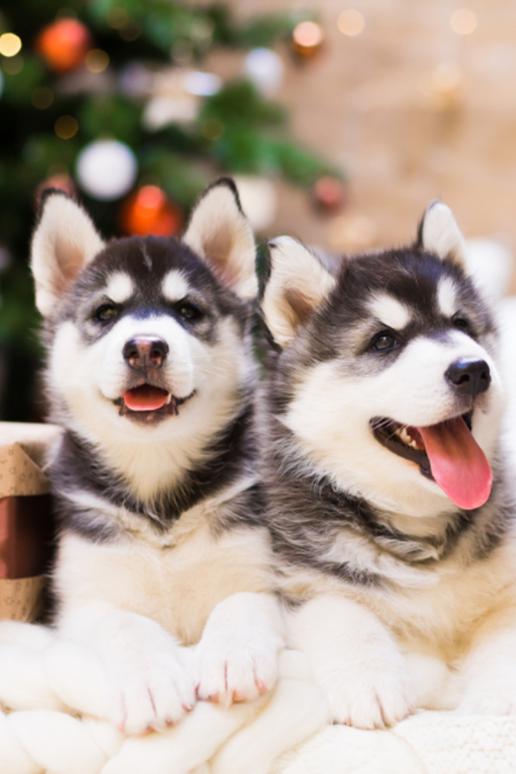Two Puppy Husky Dog With Amazing Gift Box In Background Christmas Tree Lights New Year Holiday Card Calendar Winter Family Home Husky Husky Dogs Husky Puppy
