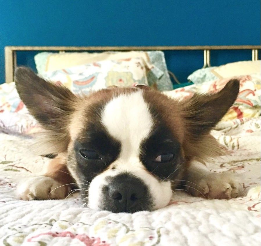 Bostillon Boston Terrier X Papillon Mix Terrier Mix Breeds