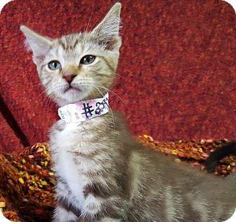 Prattville Al Domestic Shorthair Meet Kelsey 25443 A Kitten
