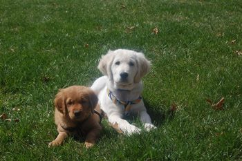One Of Each Color My Dogs White Golden Retriever Puppy American Golden Retriever Puppies